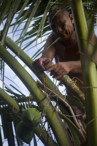 Tuvaluan man preparing a palm tree to extract syrup | Tuvaluan people | Tuvalu