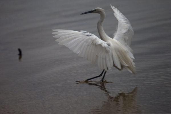 Picture of Little egret landing in Lake Victoria off Buggala Island in the early morning - Uganda - Africa