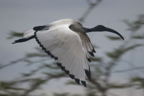 Foto van Sacred ibis flying overhead in the early morning in Lutoboka BayBuggals - Oeganda