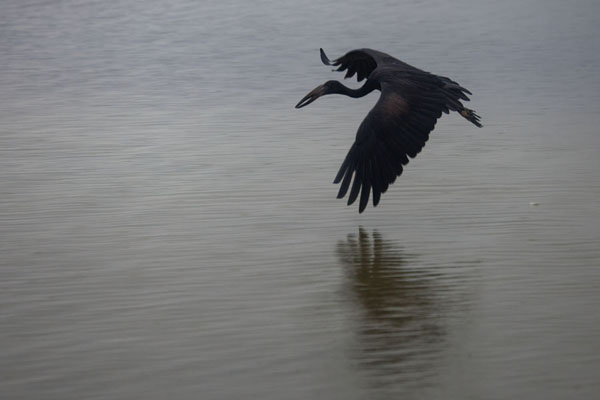Foto di African open bill flying low over the surface of Lake VictoriaBuggals - Uganda