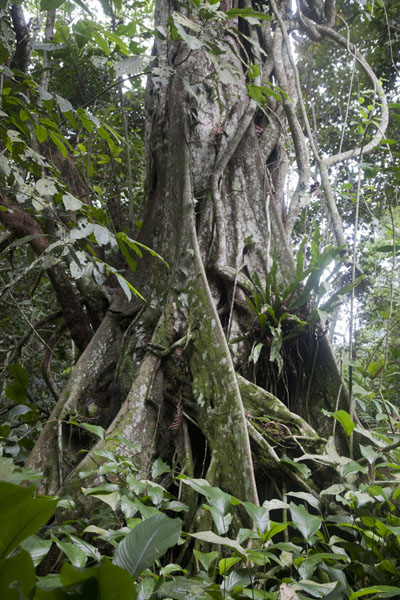 Tree in a protected forest in the northeast of Buggala Island | Buggala Ssese Island | Uganda