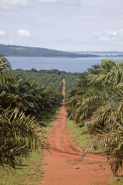 Picture of Buggala Ssese Island (Uganda): Road leading straight through a palm plantation towards a bay on the eastern side of Buggala Island