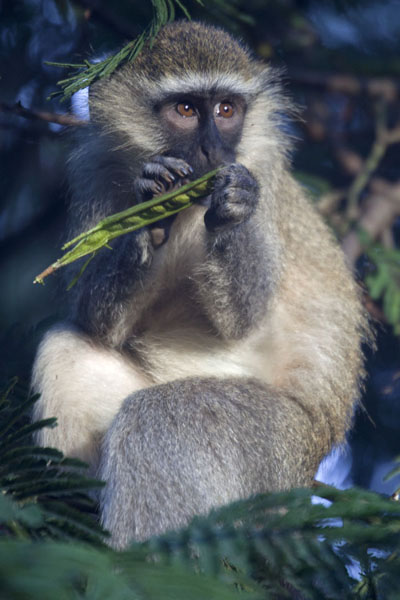 Green vervet monkey having a snack in a tree of the botanical gardens -