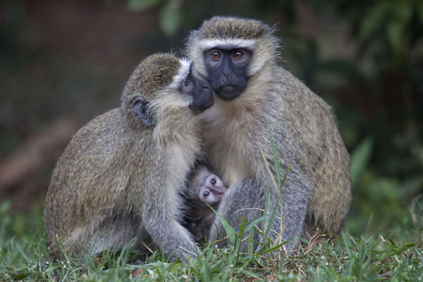 Mother and baby green vervet monkey -