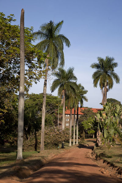 Row of palm trees at the entrance of the botanical gardens | Botanical Gardens Entebbe | Uganda