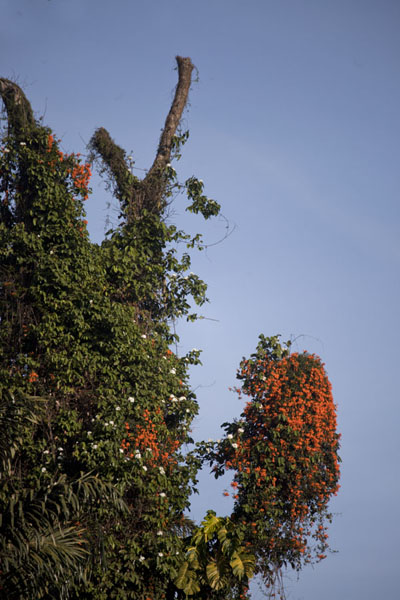 Flowers and bush covering one of the tall trees in the botanical gardens | Botanical Gardens Entebbe | Uganda