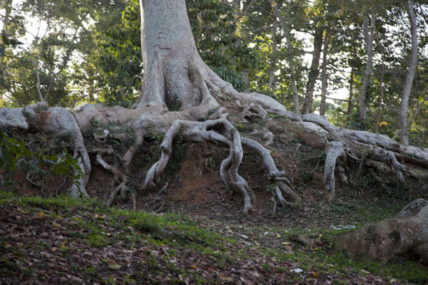 Picture of Botanical Gardens Entebbe (Uganda): Roots giving one of the trees of the botanical gardens a tight grip