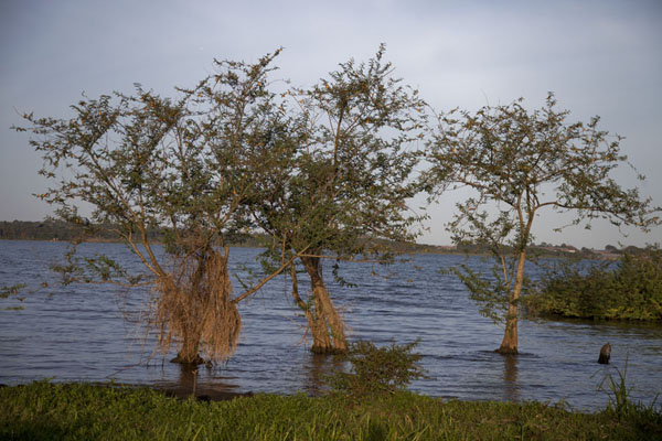 Picture of Botanical Gardens Entebbe (Uganda): Shoreline of Lake Victoria with trees in the water