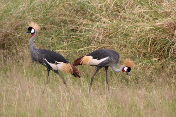 Two crowned cranes in the fields of Murchison Falls National Park | 母鸡孙落下狩獵旅行 |
