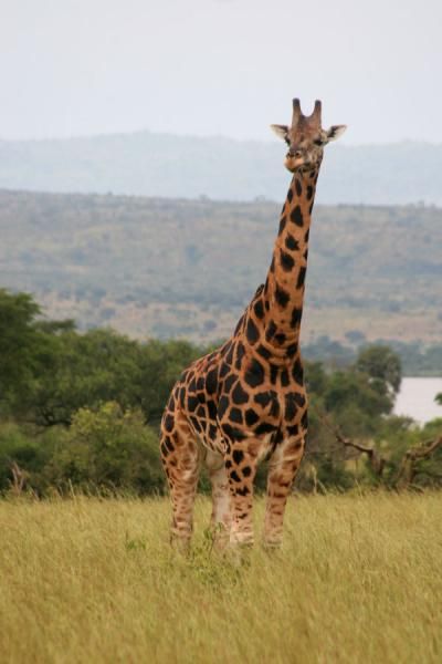 Foto van Giraffe standing out of the plainsMurchison Safari - Oeganda