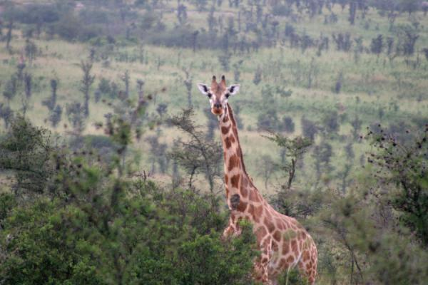 One of the many giraffes we saw on our game drive in Murchison Falls Park | 母鸡孙落下狩獵旅行 |