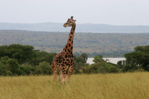 Foto de Giraffe looking around in an open plain of Murchison Falls ParkSafari Murchison - Uganda