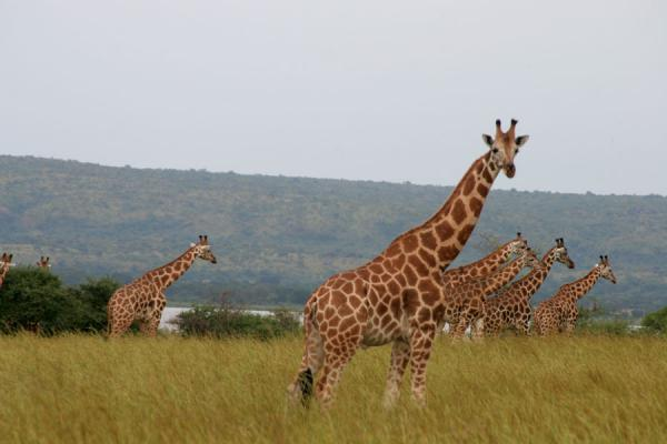 Group of giraffes gently walking in open plain in Murchison Falls National Park | Safari Cascate Murchison | Uganda