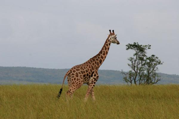 Giraffe in open plain, with yellow grass and tree | 母鸡孙落下狩獵旅行 |