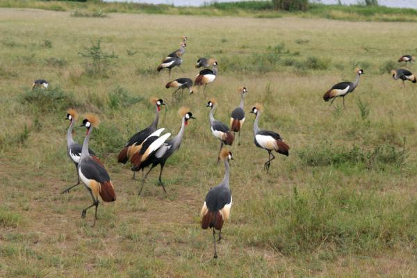 Group of crowned cranes in Murchison Falls National Park | 母鸡孙落下狩獵旅行 |