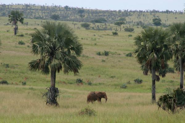 Lonely elephant walking one of the open plains of Murchison Falls | Safari Cascate Murchison | Uganda