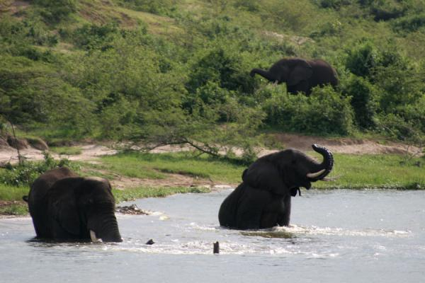 Elephants playing in the water of the Kazinga Channel | Queen Elizabeth Safari | Oeganda