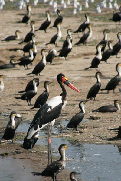 Foto van Saddle billed stork standing out of the crowd at Kazinga Channel - Oeganda - Afrika