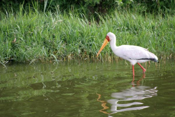 Yellow billed stork fishing in Kazinga Channel | Queen Elizabeth Safari | Oeganda