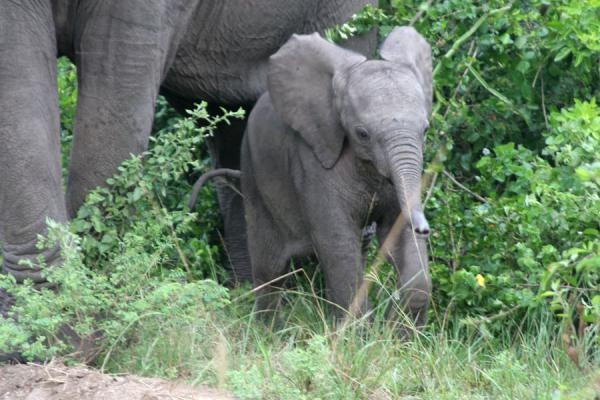 Young elephant dwarfed by its mother in Queen Elizabeth National Park | Queen Elizabeth Safari | Oeganda