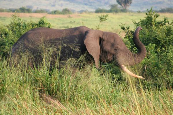 Picture of Queen Elizabeth Safari (Uganda): Elephant showing its trunk