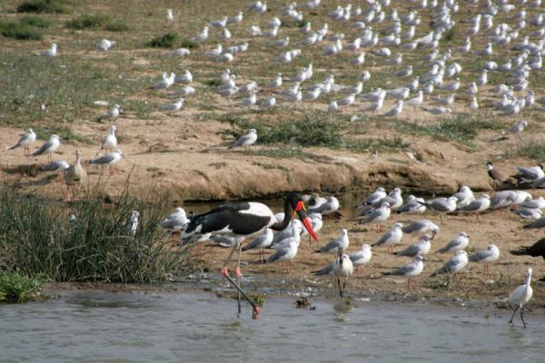 Picture of Queen Elizabeth Safari (Uganda): Saddle billed stork raising high above the other birds in Kazinga Channel