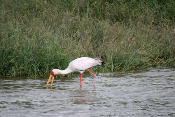 Picture of Queen Elizabeth Safari (Uganda): Yellow billed stork looking for food in Kazinga Channel
