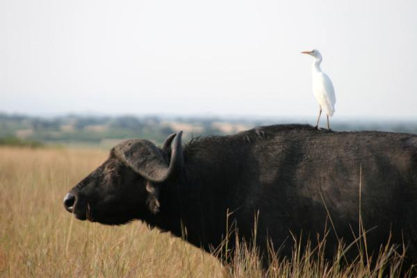 Buffalo with white egret on its back | Queen Elizabeth Safari | Oeganda