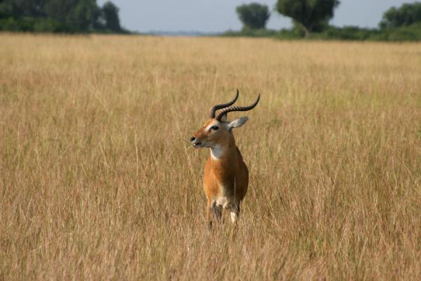 Gazelle walking the plains of Queen Elizabeth National Park | Queen Elizabeth Safari | Oeganda