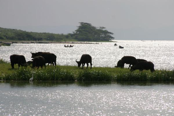 Foto van Buffaloes at the end of Kazinga Channel - Oeganda - Afrika