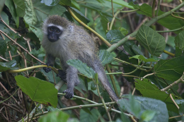 Primate playing in the trees at the third waterfall of Sipi -