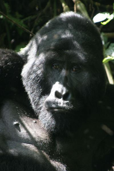 Picture of Contemplative head of the silverback of the Rushegura group at Bwindi