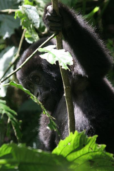 One of the young gorillas playing in the trees | Uganda Gorilla | Uganda