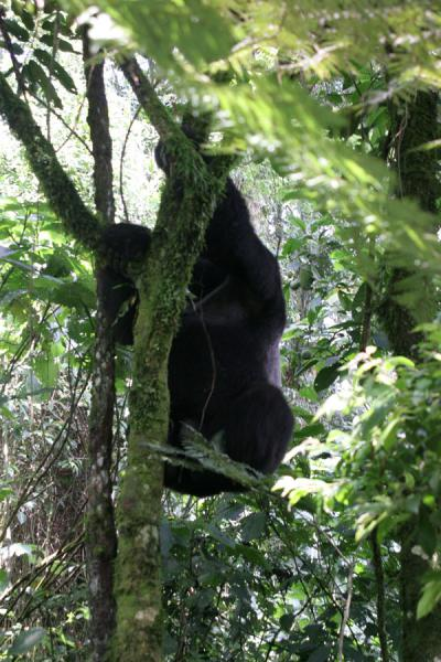 Silverback climbing in a tree, displaying his true dimensions | Uganda Gorilla | Uganda