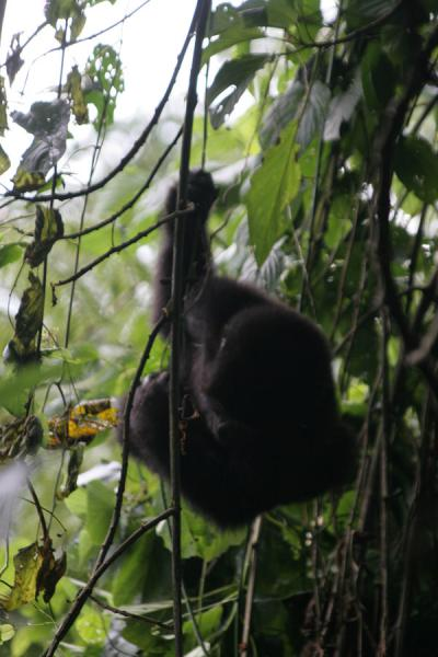 Playful gorilla in one of the many trees of the impenetrable forest | Uganda Gorilla | Uganda