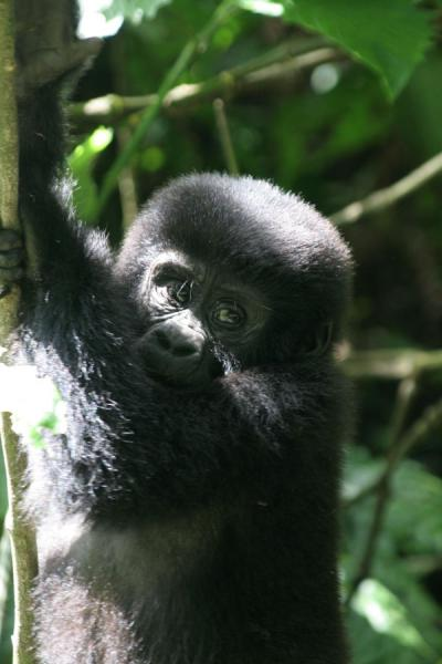 Closeup of young gorilla at Bwindi Impenetrable Forest | Uganda Gorilla | Uganda