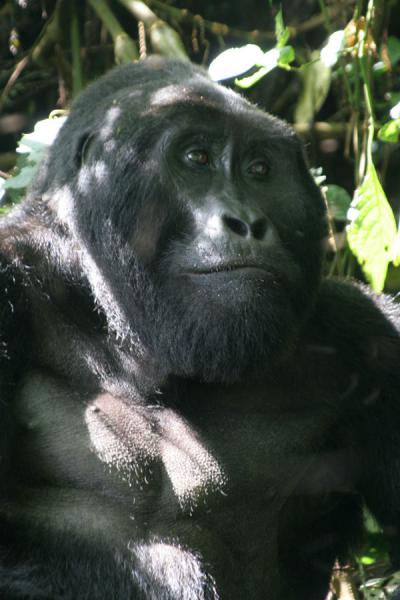 Head of Mwirima, silverback of the Rushegura group at Bwindi | Uganda Gorilla | Uganda