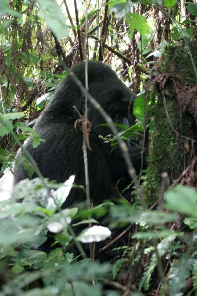 Picture of Gorilla silhouet in the impenetrable forest of Bwindi