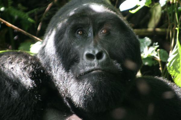 Mwirima contemplating his visitors in the impenetrable forest | Uganda Gorilla | Uganda