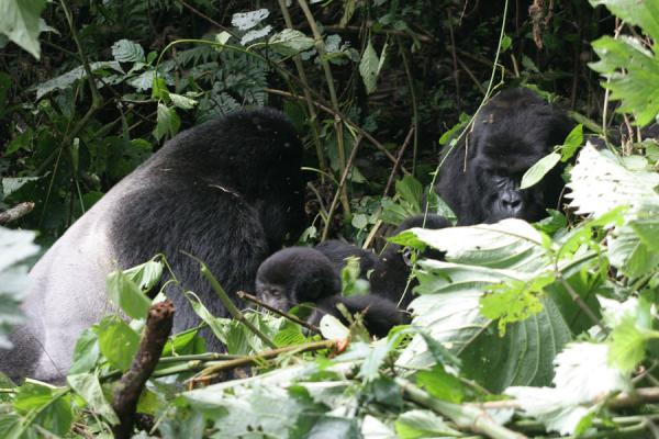 Part of the Rushegura family with the silverback clearly visible | Uganda Gorilla | Uganda