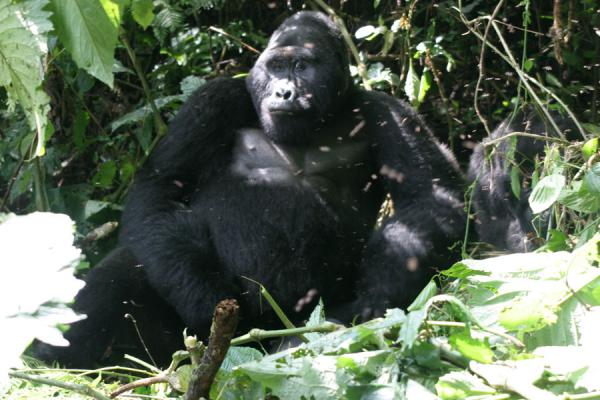 View of Mwirima, the silverback, in his full splendour | Uganda Gorilla | Uganda