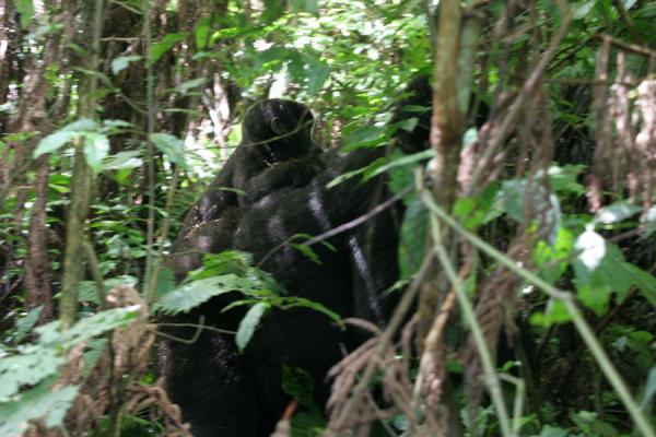Female gorilla with young one on her back | Uganda Gorilla | Uganda