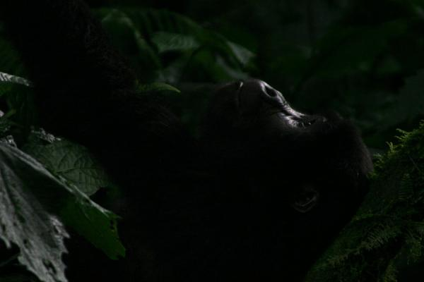Glimpse of young gorilla playing in the forest | Uganda Gorilla | Uganda
