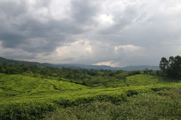 Tea plantation in southwestern Uganda: a mixture of green and grey | Uganda Light | Uganda