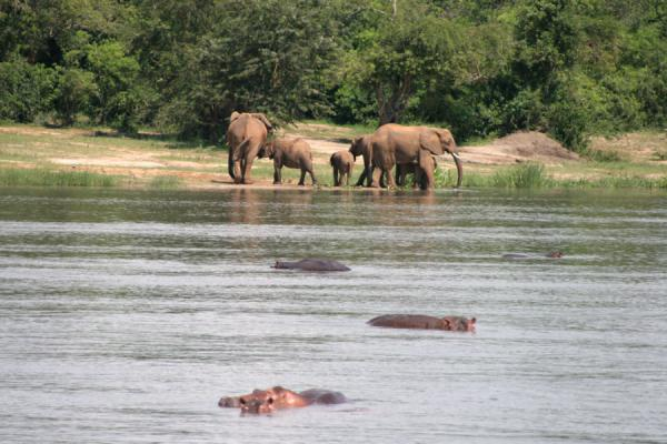 Groups of elephants and hippos in the river Nile | Victoria Nile | Uganda