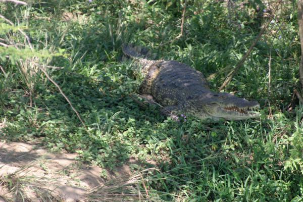 Crococile coming out of the protective vegetation on the banks of the river Nile | Nilo Victoria | Uganda
