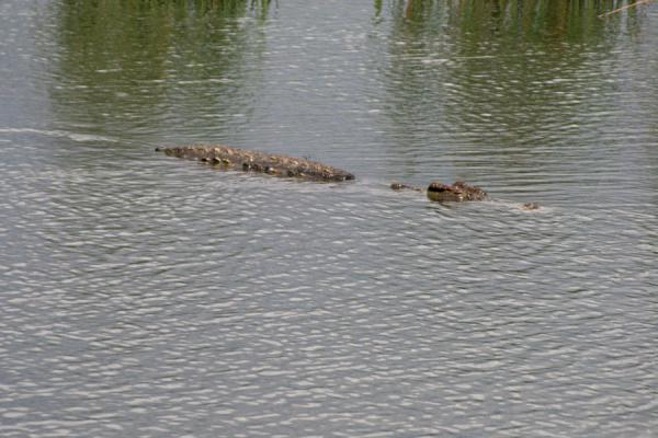 Picture of Sneakily floating in the Victoria Nile, a crocodile has an amazing capacity to hideVictoria Nile - Uganda