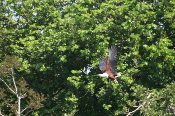 Picture of Bird on the bank of the Victoria Nile flying away