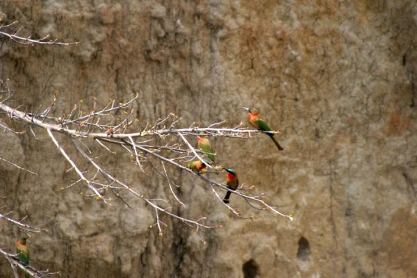Picture of Victoria Nile (Uganda): Colourful birds in a tree on the bank of the river Nile