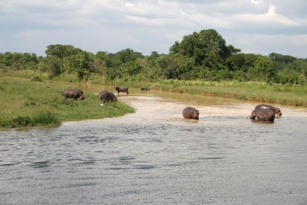 Group of hippos and buffaloes in a small creek on the Victoria Nile | Victoria Nile | Uganda